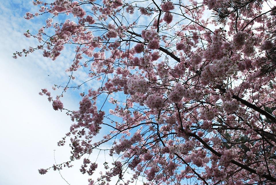 batignolles-cerisier du japon