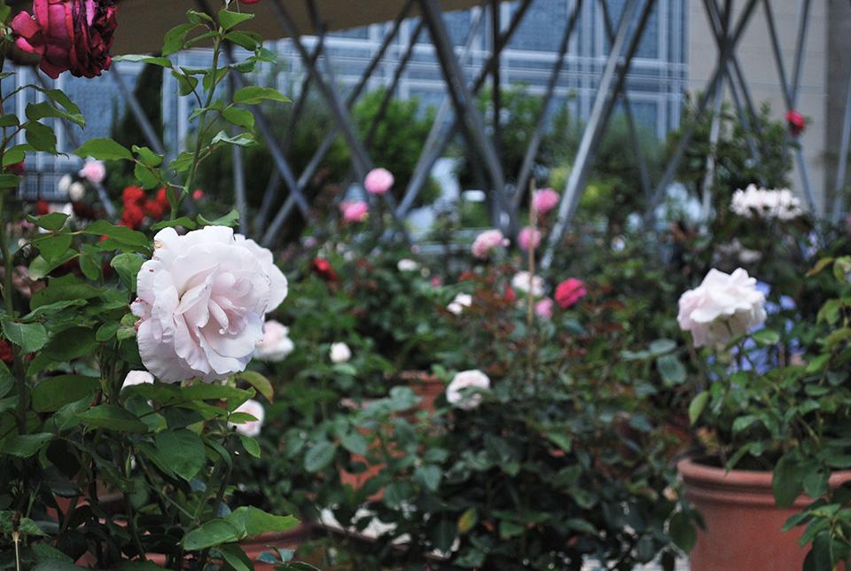 roses damas ima